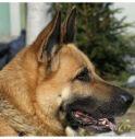 Animali: lo studio, più lupo o più cane? Per capirlo basta uno sguardo.