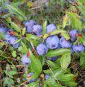 Una pianta del Molise nuova arma anti-cancro, è il Prunus