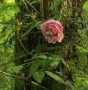 rosa lucetta