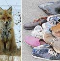 Svizzera, volpe ruba 42 paia di scarpe.