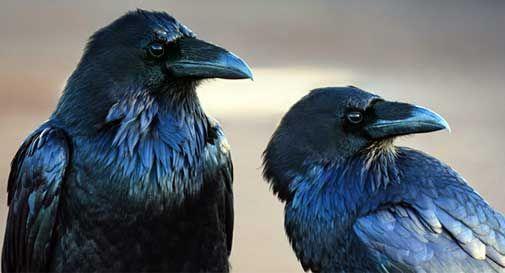 Dodicimila gazze e corvi da uccidere in tre anni oggi for Trappola per gazze