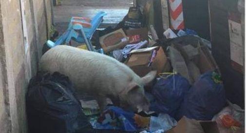 maiale tra i rifiuti a roma