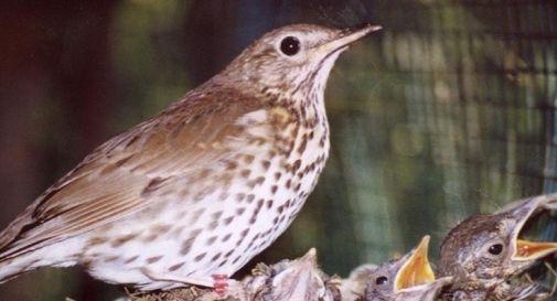 Arresti a Vittorio Veneto, Cordignano e Godega: in tre accusati di traffico illecito di uccelli