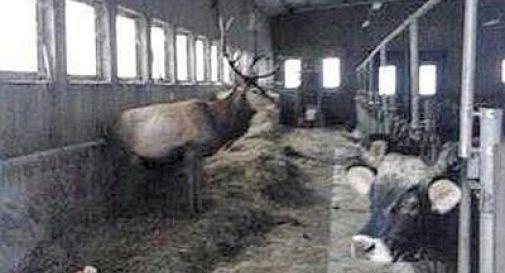 Maltempo, a Cortina i cervi si rifugiano in una stalla: cibo e cure da allevatore