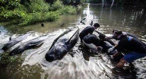 Spiaggiate 32 balene pilota in Indonesia, 10 sono già morte: