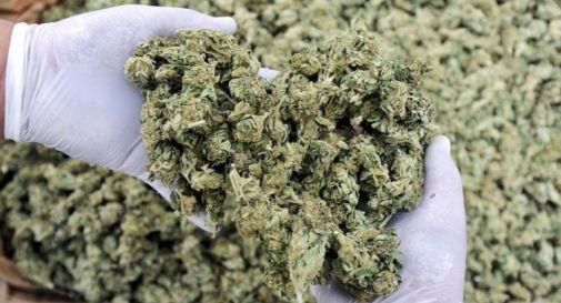 Smantellata organizzazione spaccio: trovati 200 Kg di marijuana