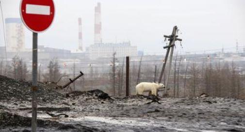 Stremato e affamato, l'orso polare rovista tra i rifiuti FOTO
