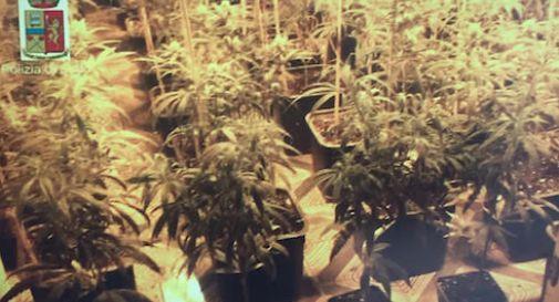 Cinesi coltivano mille piante di marijuana in un capannone